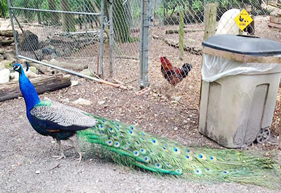 The Yellow River Game Ranch encourages visitors to bring cameras to capture interactions with free-roaming animals, like peacocks.