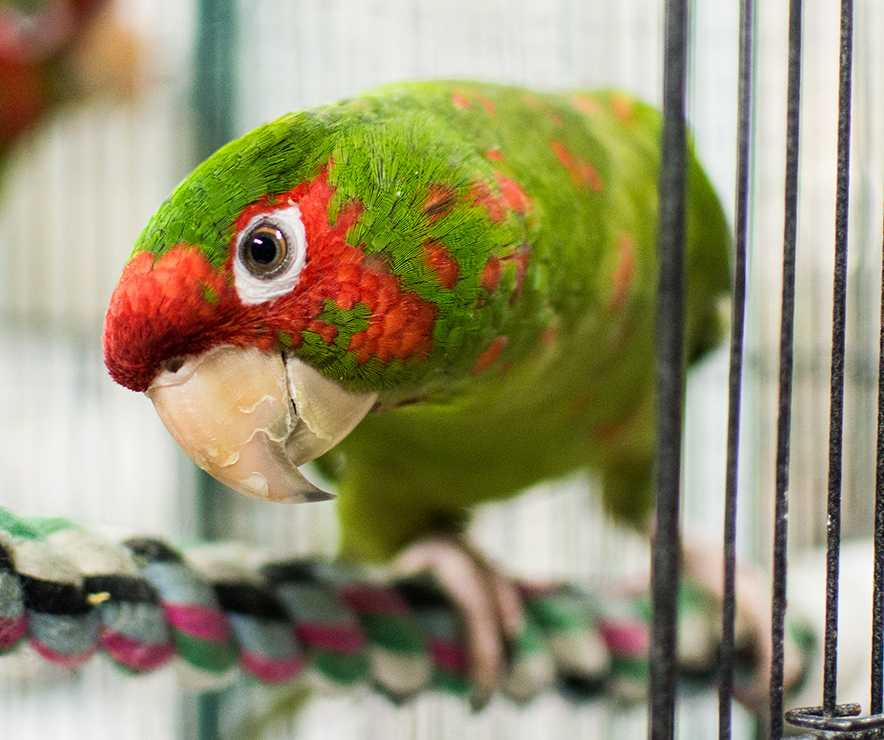 One of the parrots rescued and being cared for by LifeLine.