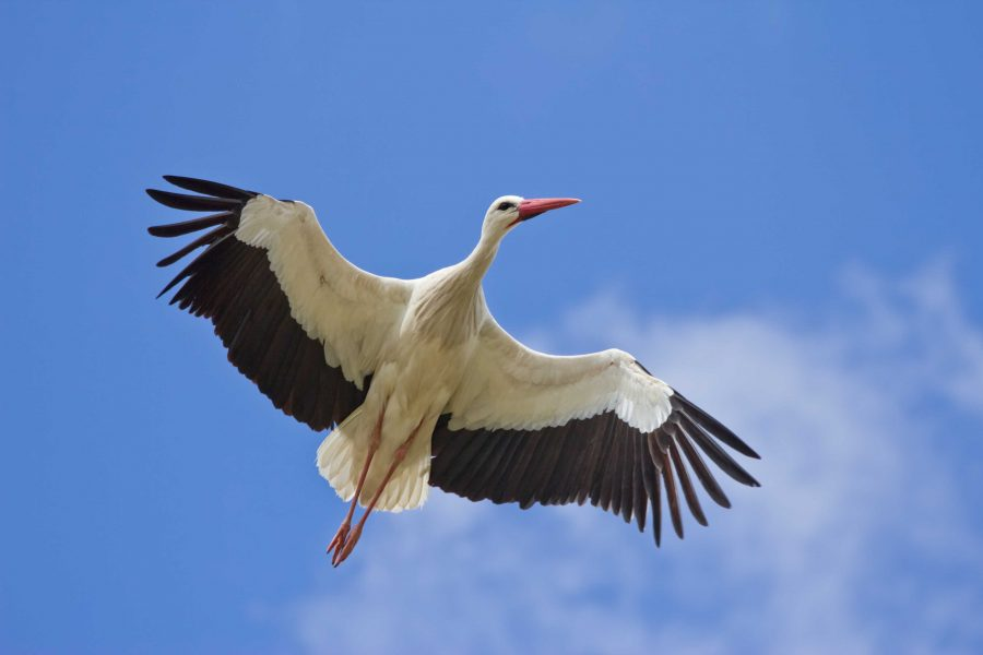 White+storks+live+in+wetland+areas.++During+the+spring%2C+they+migrate+to+breeding+grounds+where+the+males+decorate+nests+for+the+females.